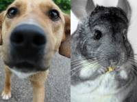 NGOs for the rescue of chinchillas!