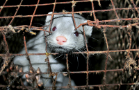 Mink in fur farming