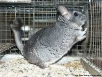 Chinchilla in fur industry-photo: One Voice