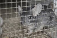 Chinchillas in fur farms 1 [ 429.71 Kb ]