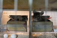 Chinchillas in fur farms 8 [ 561.74 Kb ]