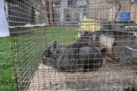 Chinchillas in fur farms 11 [ 774.36 Kb ]
