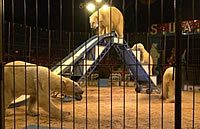 Polar bears in circus