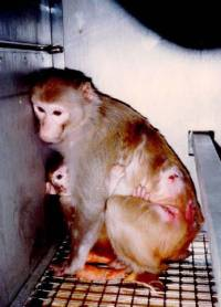 Primates are often kept in barren cages with no attempt to enrich their environment [ 43.77 Kb ]