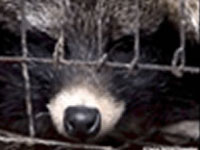 PetaTV: Shocking New Fur Investigation, China