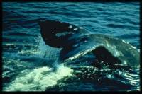 Source: www.animalphotolibrary.com - whale