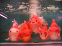Source: www.norlos.com - Goldfish [ 133.11 Kb ]