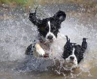 Dogs running through water [ 63.72 Kb ]