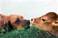 Dog and calf [ 57.87 Kb ]