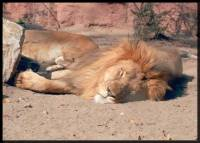 Source: www.animalphotolibrary.com - lion [ 33.28 Kb ]