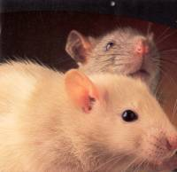 Rat pair [ 47.27 Kb ]