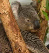 Koala soal survivor of fires that swept South Eastern Australia in 2001 - copyright Ray Drew [ 55.38 Kb ]