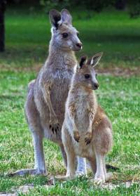 Kangaroos - copyright Ray Drew [ 53.47 Kb ]