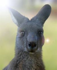 Portrait of a kangaroo - copyright Ray Drew [ 23.78 Kb ]