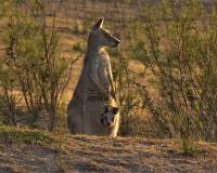 Female kangaroo with Joey in pouch - copyright Ray Drew [ 69.89 Kb ]