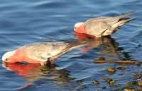 Galahs drinking at lake - copyright Ray Drew [ 36.40 Kb ]
