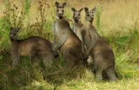 Kangaroo Family - Copyright: Ray Drew [ 162.75 Kb ]