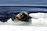 HSUS - Seal climbing onto ice [ 44.83 Kb ]