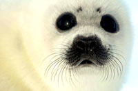HSUS - Seal pup, face 1 [ 33.06 Kb ]