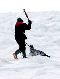 Seal hunt - Clubbing beater, IFAW [ 52.84 Kb ]