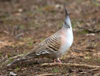 Crested pigeon - copyright Ray Drew [ 173.71 Kb ]