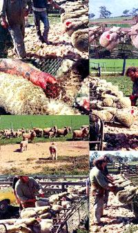 Breeding, transport and slaughter of sheep 7 [ 171.37 Kb ]