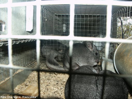 chinchillas in cage - fur farming, photo: One Voice, France [ 735.73 Kb ]