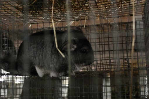 Chinchilla in a cage [ 118.20 Kb ]