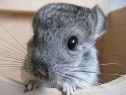 chinchilla [ 383.23 Kb ]