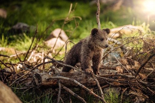 Little brown bear cub [ 389.31 Kb ]
