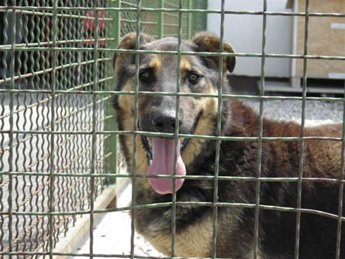 A dog in Dumovec shelter 2