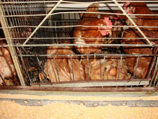 Starved hens of Poljoprerada firm a [ 136.34 Kb ]